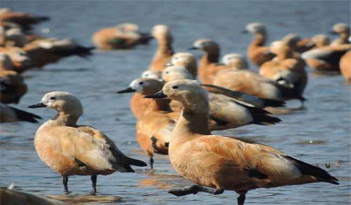 बदलते मौसम के बीच आसन वैटलैंड में जुट रहा प्रवासी पक्षियों का झुंड, सुरक्षा व्यवस्था की गई कड़ी