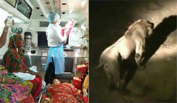 शेरों के झुंड के बीच महिला ने दिया बच्चे को जन्म, एंबुलेंस को आधे घंटे तक रोके रहे 12 शेर