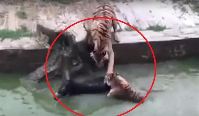 VIDEO - चीन के चिड़ियाघर में भूखे बाघों के आगे कर्मचारियों ने फेंक दिया एक गधा...फिर क्या हुआ..देखिए वीडियो