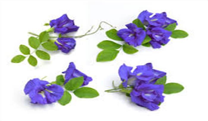 औषधीय गुणों से भरपूर हैं अपराजिता के फूल, जानें क्या हैं इनके फायदें