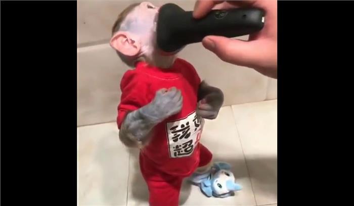 एक बंदर जो करवाता है अपनी शेविंग, देखें पूरा वीडियो