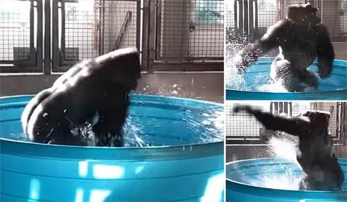 जोला दा डांसिग गोरिल्ला को नहाते देख आप भी हंस-हंस के हो जाएंगे लोटपोट, देखें पूरा वीडियो....