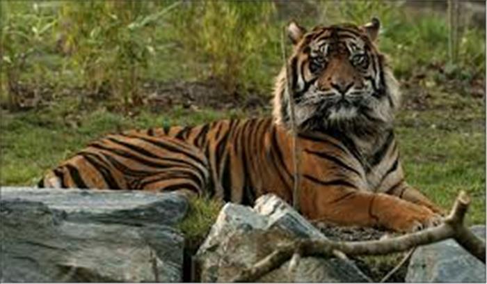 अब भारत और नेपाल मिलकर करेंगे उत्तराखंड के बाघों का संरक्षण, खाका तैयार