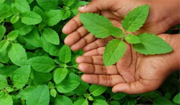 बद्रीनाथ धाम में पाया जाने वाला यह पौधा , जिसके गुणों को जानने के बाद वैज्ञानिकों ने दाबी दांतों तले अंगुलियां